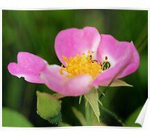 Texas Wild Rose Poster