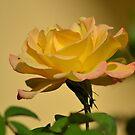 Apricot Rose by TheaShutterbug