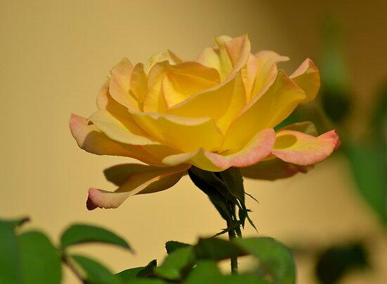 Apricot Rose by TheaShutterbug