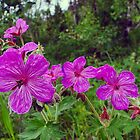 Sticky Purple Geranium - Geranium viscosissimum by Digitalbcon