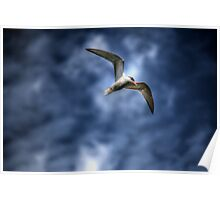 Common Tern  Poster
