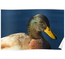 Mallard - Saxony Mixed Breed wild duck drake  Poster