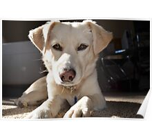 White Lab looking at you Poster