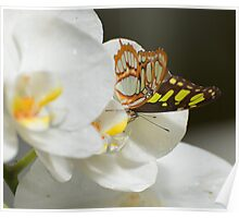 Butterfly on White Orchid  Poster