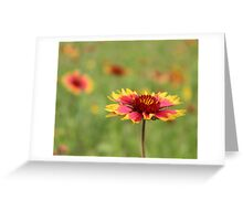 Oklahoma's State Wildflower - Indian Blanket Greeting Card