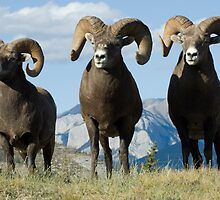 Big Horn Sheep Trio by Bob Christopher