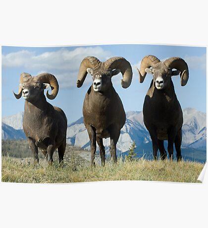 Big Horn Sheep Trio Poster