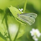 Cabbage White Butterfly on Green by hummingbirds