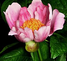Hot Pink Peony by Sharon Woerner
