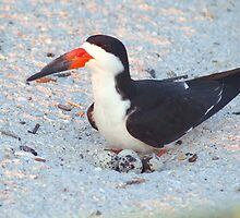 Black skimmer on its nest by ♥⊱ B. Randi Bailey