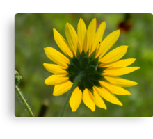 Sunflower Follows the Sun Canvas Print