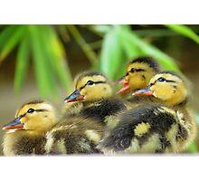 Duckling Quack-tette  Photographic Print