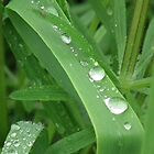 Raindrops on Blade of Grass by MyPixx