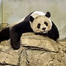 Giant Panda by AnnDixon