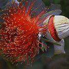 Eucalyptus macrocarpa by andrachne