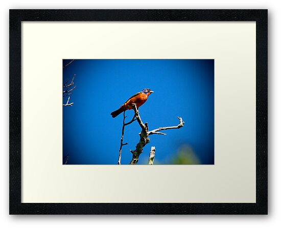 Painted Bunting by TJ Baccari Photography