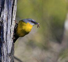 Eastern Yellow Robin by Donovan wilson