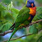 Rainbow Lorrikeet by Steve Randall