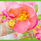 Quince bloom close up by ©The Creative  Minds