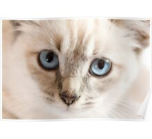 Blue Eyes Kitten Poster