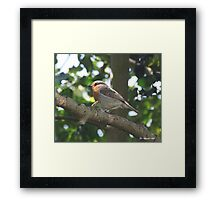 ROBIN IN HOLLY TREE Framed Print