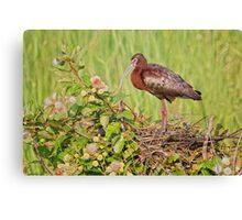 Glossy Ibis on Nest Canvas Print