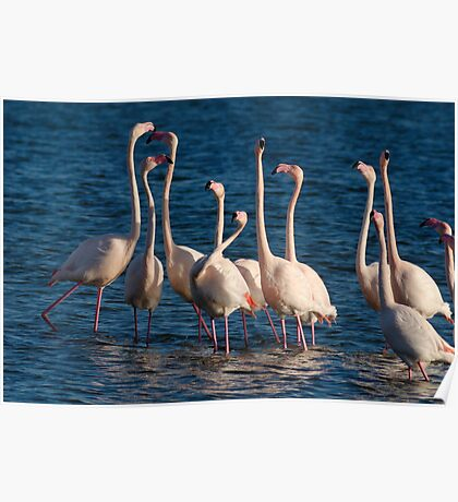 Flock of Greater Flamingoes  during mating season Poster