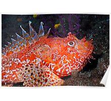 Pustulous Scorpion Fish on rock Poster