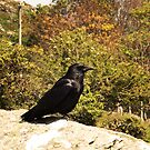 Devon Crow by Sarah Tweedie