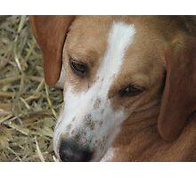 Puppy hound dog Photographic Print