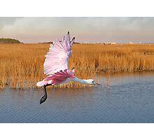 Roseate Spoonbill Flying Through The Salt Marsh Photographic Print
