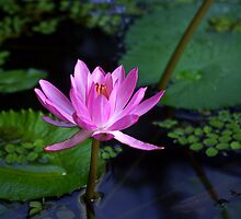 Arisen ~ Pink Water Lily by Kerryn Madsen-Pietsch