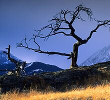 Crowsnest Tree by Bob Christopher