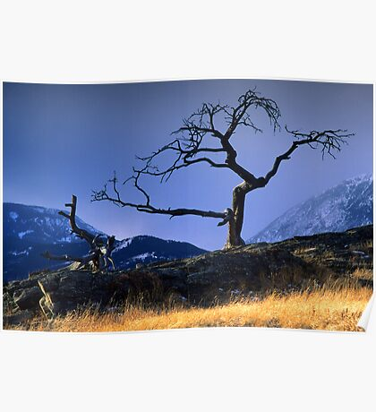 Crowsnest Tree Poster