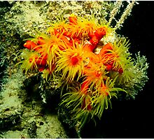 fish in the red sea, soft coral ? Photographic Print