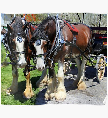 Clydesdale Horses Poster