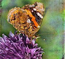 The Red Admiral. by LudaNayvelt