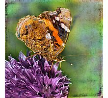 The Red Admiral. Photographic Print