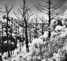 Dead Pines on Angel Island by Rodney Johnson