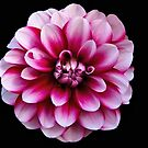 Pink & White Dahlia by Lee d'Entremont