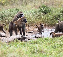 Everyday Business with Olive Baboons by Carole-Anne