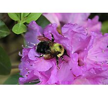 Bumble Bee on Rhododendron Photographic Print