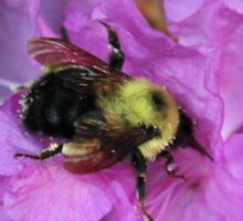 Bumble Bee on Rhododendron Sticker