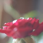 Watery rose by scmooney