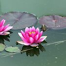 Water LIly Three by Sandra Lee Woods