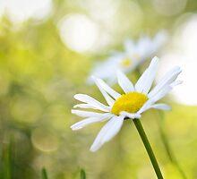 Terri's Daisy by CandiMerritt