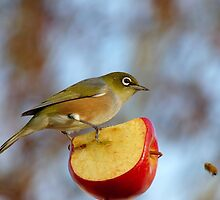 Look OUT..Silly Bee.. This Apple's Got No Brakes!!! -Silver-Eye - NZ by AndreaEL
