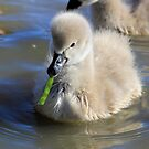 Learning to Eat, baby Black  swan by Kym Bradley