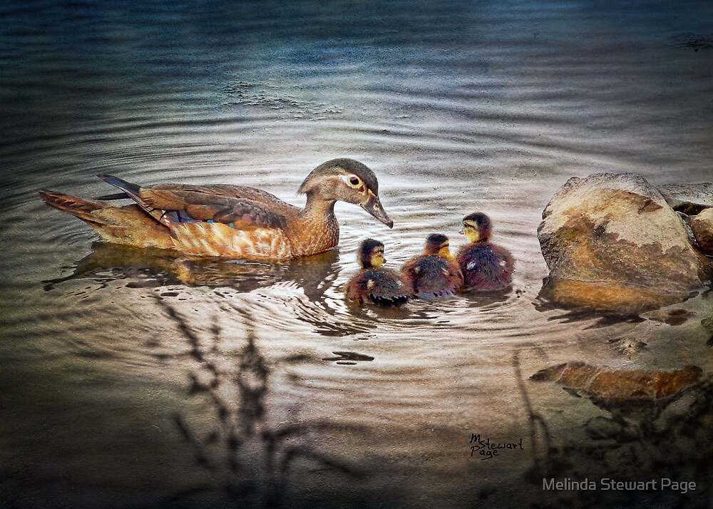 """""""Female Wood Duck With Babies"""" by Melinda Stewart Page"""