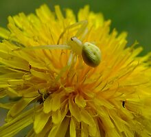 Crab Spider On A Dandelion by Tracy Faught
